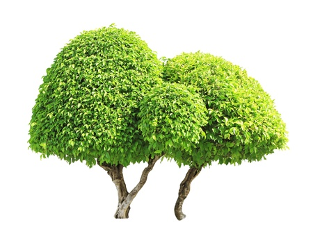 banyan: Banyan or ficus bonsai tree isolated on white background