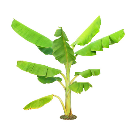 Banana tree isolated on white background