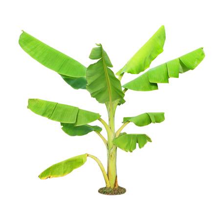 banana tree: Banana tree isolated on white background