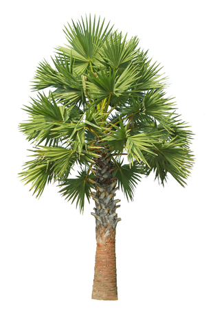 sugar palm: Sugar palm tree isolated on white background  Stock Photo