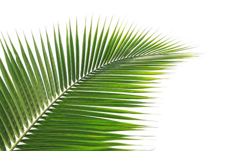 Grüne Kokosnuss Blatt isoliert auf weißem Hintergrund