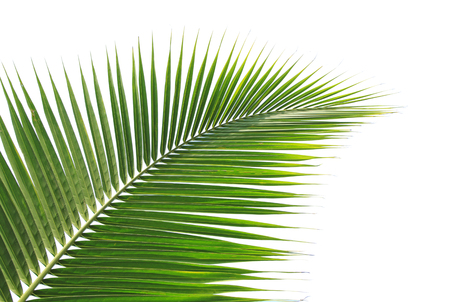 coconut tree: Green coconut leaf isolated on white background