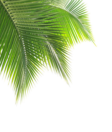 Green coconut leaf isolated on white background photo