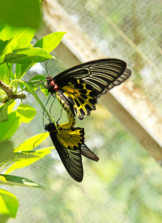 Black-yellow color butterfly breeding on green leaves background photo