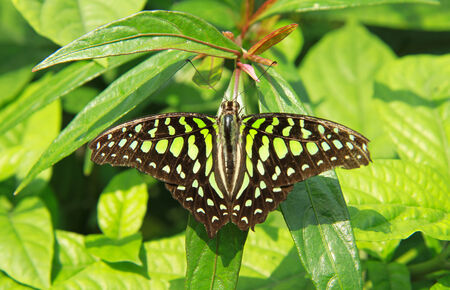 Black-yellow color butterfly on green leaves background photo