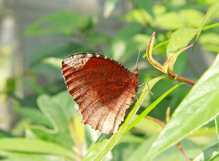 Brown color butterfly on green leaves background photo