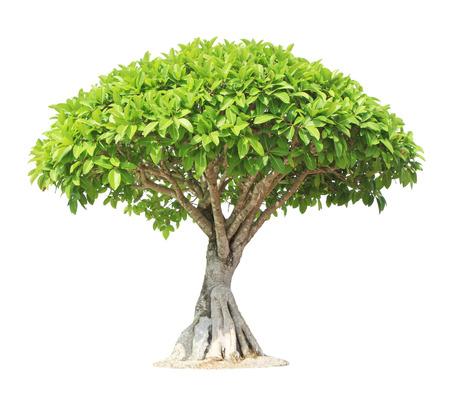 banyan: Banyan o ficus �rbol bonsai aisladas sobre fondo blanco