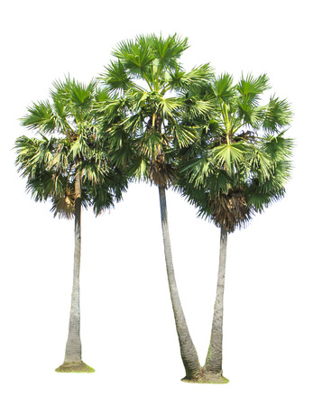 Group of sugar palm tree isolated on white background photo