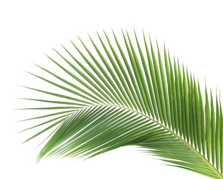 palm frond: Green coconut leaf isolated on white background