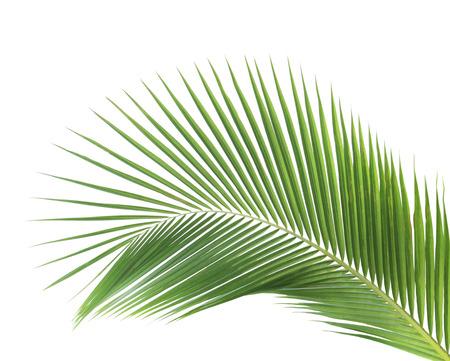 albero della vita: Verde foglie di cocco isolato su sfondo bianco Archivio Fotografico