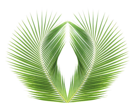 Green coconut leaf on white background photo
