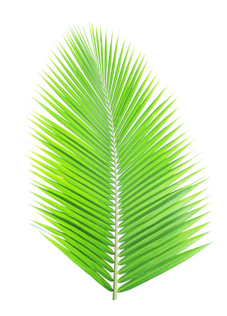 cycas: Green coconut leaf isolated on white background