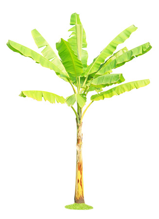 Banana tree isolated on white background photo