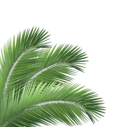 Green palm leafs isolated on white background photo