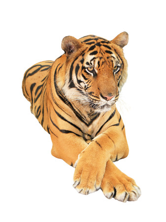 Tiger isolated on white background photo