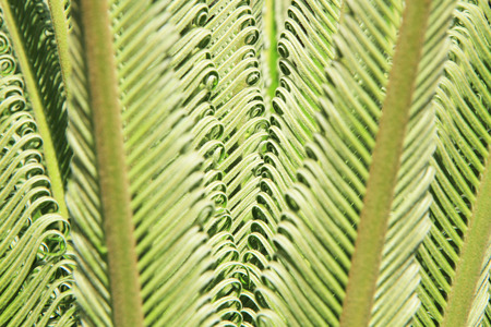 cycas: Young cycas leaves