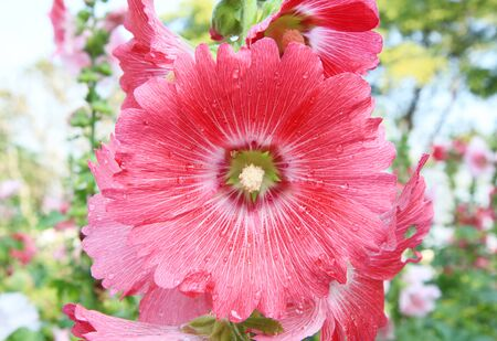 hollyhock: Pink Hollyhock Stock Photo