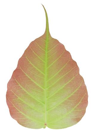 fig leaf: Sacred fig leaf isolated on white