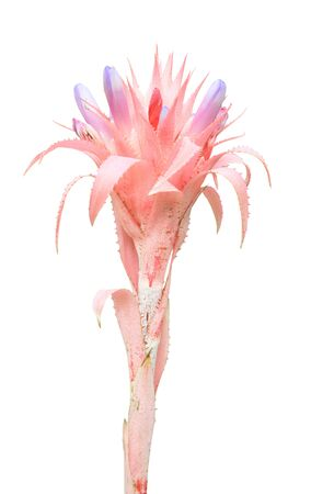 aechmea: Bromeliad (Aechmea fasciata) isolated on white background