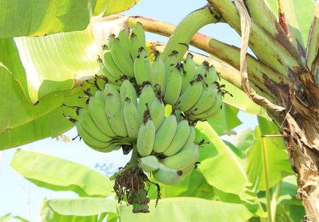 cultivated: Cultivated fresh banana tree