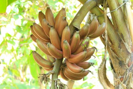 Cultivated fresh banana tree photo