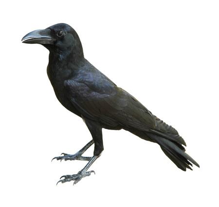 cuervo: Cuervo negro aislado sobre fondo blanco Foto de archivo