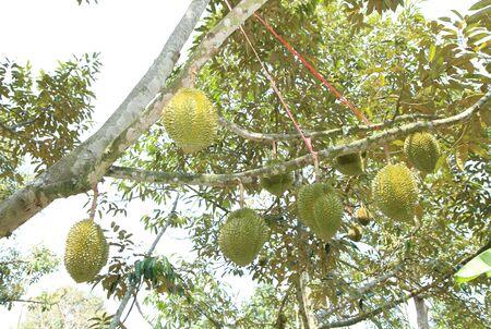 dorian: Dorian fruit on tree