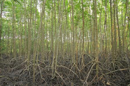 mangroves: Mangroves forest Stock Photo