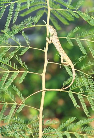 Thai chameleon on a tree photo