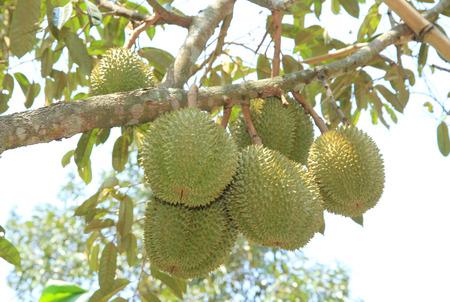 dorian: Dorian fruits on tree
