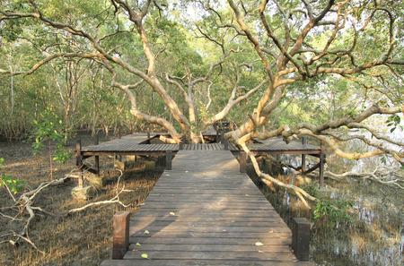 mangroves: Walkway through mangroves forest