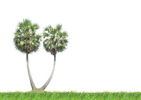 sugar palm: Sugar palm tree on green grass isolated on white background Stock Photo