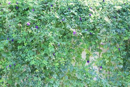 pea shrub: Butterfly pea plant