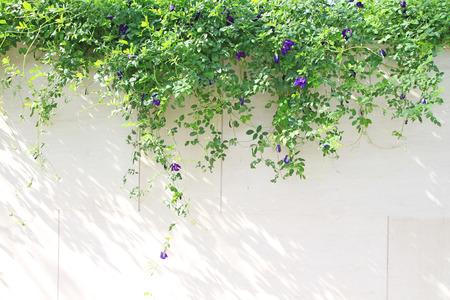 pea shrub: Butterfly pea flower plant