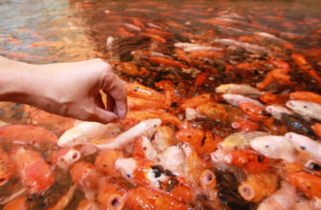 fight hunger: A hand drop a piece of feed into the pond to feeding koi carp : focused on hand