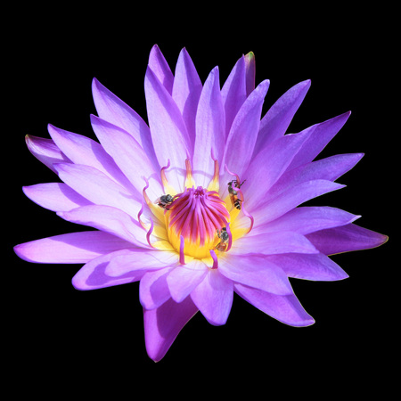 animal vein: Purple water lily flower isolated on black background Stock Photo