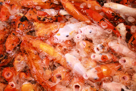 fight hunger: Koi fish Stock Photo