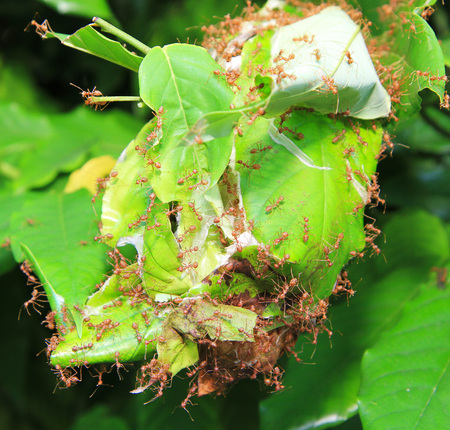 ant leaf: Red ant in ant nest made from green leaves Foto de archivo