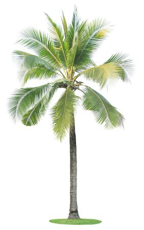 subtropical plants: Coconut tree isolated on white background.