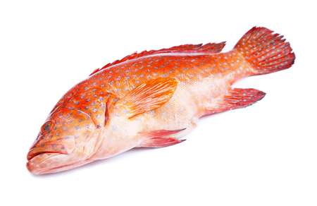 grouper: Red-banded grouper isolated on white background