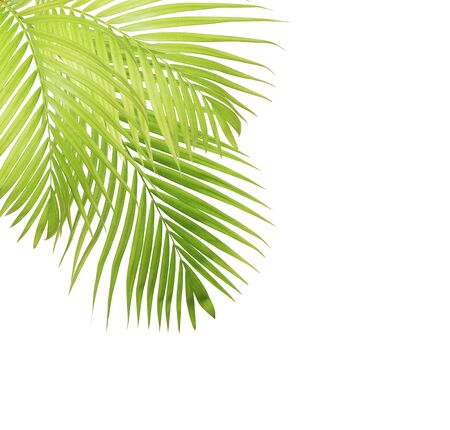 tropical leaves: Palm leaf isolated on white background