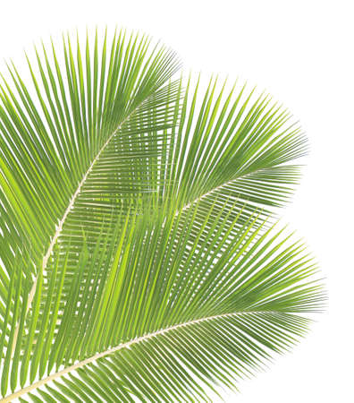 palmetto: Coconut leaf isolated on white background