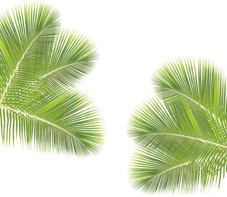 coconut leaf: Coconut leaf isolated on white background