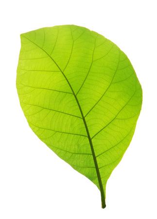 Green teak leaf isolated on white background