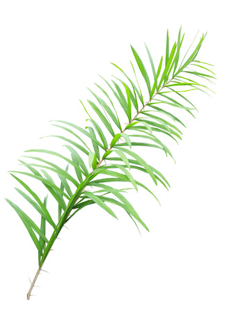 trees with thorns: Rattan palm leaves isolated on white background