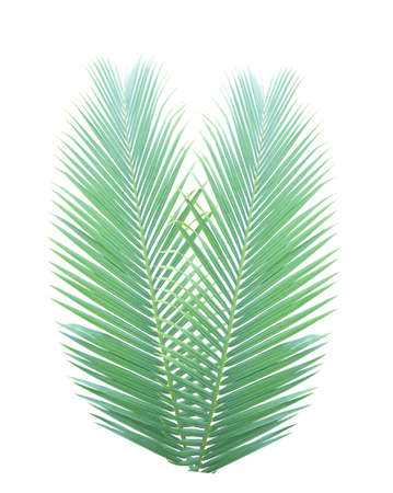 palmetto: Palm leaf isolated on white background