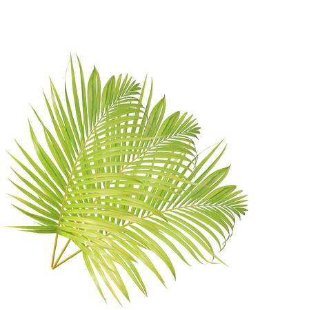 droop: Green palm leaf isolated on white background Stock Photo