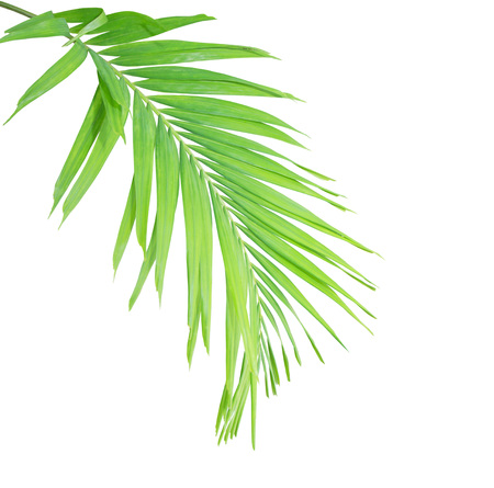 cycas: Green palm leaf isolated on white background Stock Photo