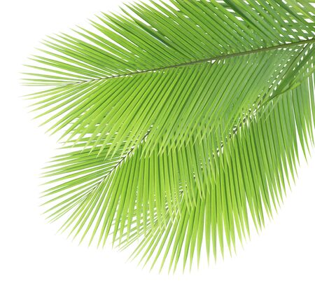Green coconut leaves isolated on white background Stock Photo