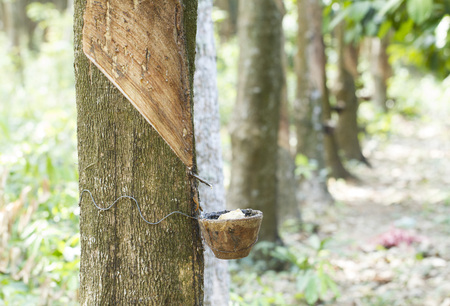 Tapping latex from a rubber tree Stock Photo